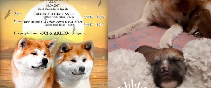 Рыжие щенки АКИТА от японского импорта!