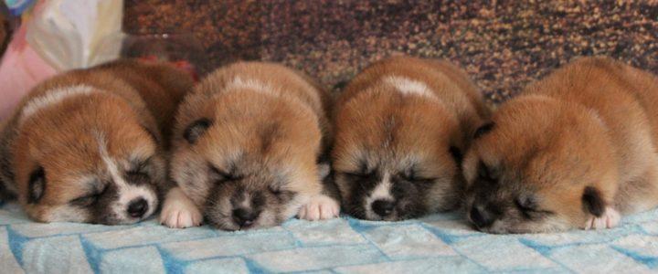 Новые фото наших самых маленьких акитят!