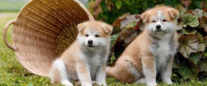В нашем питомнике родились щенки акита!